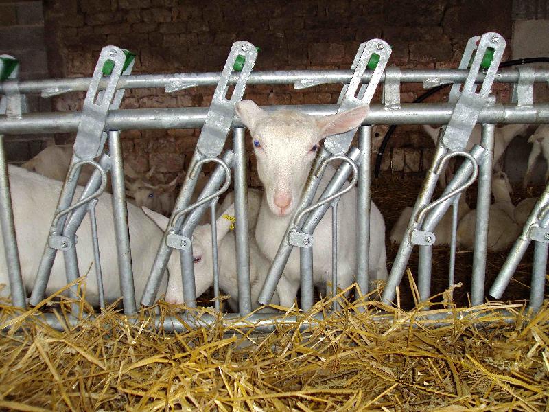 Ovinos caprinos dismagan for Autocatture per capre